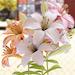 ユリの花©sisioumaru